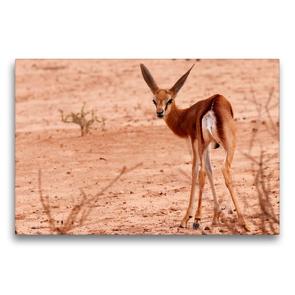 Premium Textil-Leinwand 75 x 50 cm Quer-Format Junges Impala in der Etosha Pfanne, Afrika   Wandbild, HD-Bild auf Keilrahmen, Fertigbild auf hochwertigem Vlies, Leinwanddruck von Birgit Scharnhorst