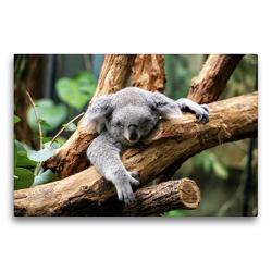 Premium Textil-Leinwand 75 x 50 cm Quer-Format Koala Bär auf einem Baum in Australien | Wandbild, HD-Bild auf Keilrahmen, Fertigbild auf hochwertigem Vlies, Leinwanddruck von Christian Colista