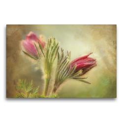 Premium Textil-Leinwand 75 x 50 cm Quer-Format Küchenschelle   Wandbild, HD-Bild auf Keilrahmen, Fertigbild auf hochwertigem Vlies, Leinwanddruck von Angelika Beuck