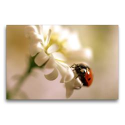 Premium Textil-Leinwand 75 x 50 cm Quer-Format Marienkäfer an weißer Blüte | Wandbild, HD-Bild auf Keilrahmen, Fertigbild auf hochwertigem Vlies, Leinwanddruck von Ulrike Adam