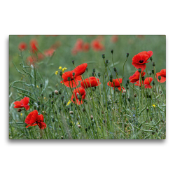Premium Textil-Leinwand 75 x 50 cm Quer-Format Mohnblumen – Pure Faszination in Rot | Wandbild, HD-Bild auf Keilrahmen, Fertigbild auf hochwertigem Vlies, Leinwanddruck von Andrea Potratz