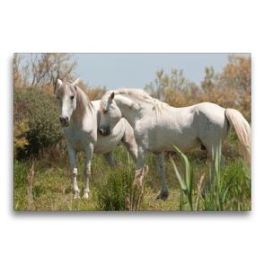 Premium Textil-Leinwand 75 x 50 cm Quer-Format Natürliches Pferdeleben in der Camargue: Hengst und Stute   Wandbild, HD-Bild auf Keilrahmen, Fertigbild auf hochwertigem Vlies, Leinwanddruck von Meike Bölts