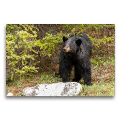Premium Textil-Leinwand 75 x 50 cm Quer-Format Neugieriger Schwarzbär im Jasper Nationalpark | Wandbild, HD-Bild auf Keilrahmen, Fertigbild auf hochwertigem Vlies, Leinwanddruck von Adrian Geering