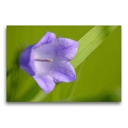 Premium Textil-Leinwand 75 x 50 cm Quer-Format Rundblättrige Glockenblume | Wandbild, HD-Bild auf Keilrahmen, Fertigbild auf hochwertigem Vlies, Leinwanddruck von HerzogPictures