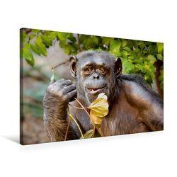 Premium Textil-Leinwand 75 x 50 cm Quer-Format Schimpanse | Wandbild, HD-Bild auf Keilrahmen, Fertigbild auf hochwertigem Vlies, Leinwanddruck von Ulrich Brodde von Brodde,  Ulrich