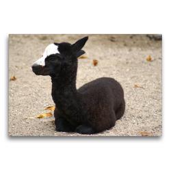 Premium Textil-Leinwand 75 x 50 cm Quer-Format Schwarz weißes Alpakafohlen | Wandbild, HD-Bild auf Keilrahmen, Fertigbild auf hochwertigem Vlies, Leinwanddruck von kattobello