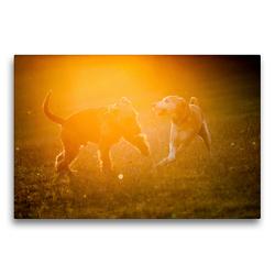 Premium Textil-Leinwand 75 x 50 cm Quer-Format Spielende Hunde im Sonnenuntergang | Wandbild, HD-Bild auf Keilrahmen, Fertigbild auf hochwertigem Vlies, Leinwanddruck von Meike Bölts