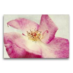 Premium Textil-Leinwand 75 x 50 cm Quer-Format Vintage Rose | Wandbild, HD-Bild auf Keilrahmen, Fertigbild auf hochwertigem Vlies, Leinwanddruck von Angela Dölling