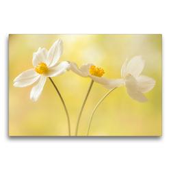 Premium Textil-Leinwand 75 x 50 cm Quer-Format Weiße Blumen – Anemonen | Wandbild, HD-Bild auf Keilrahmen, Fertigbild auf hochwertigem Vlies, Leinwanddruck von Ulrike Adam