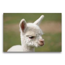 Premium Textil-Leinwand 75 x 50 cm Quer-Format Weißes Alpaka Fohlen auf gerahmter Leinwand   Wandbild, HD-Bild auf Keilrahmen, Fertigbild auf hochwertigem Vlies, Leinwanddruck von Bianca Mentil