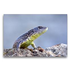 Premium Textil-Leinwand 75 x 50 cm Quer-Format Zauneidechse   Wandbild, HD-Bild auf Keilrahmen, Fertigbild auf hochwertigem Vlies, Leinwanddruck von GUGIGEI