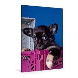 Premium Textil-Leinwand 80 x 120 cm Hoch-Format Chihuahua Welpen | Wandbild, HD-Bild auf Keilrahmen, Fertigbild auf hochwertigem Vlies, Leinwanddruck von Gabriela Wejat-Zaretzke von Wejat-Zaretzke,  Gabriela