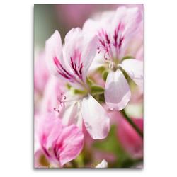 Premium Textil-Leinwand 80 x 120 cm Hoch-Format Geranienblüten | Wandbild, HD-Bild auf Keilrahmen, Fertigbild auf hochwertigem Vlies, Leinwanddruck von Gisela Kruse