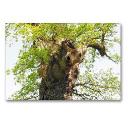 Premium Textil-Leinwand 90 x 60 cm Quer-Format Alter Baum mit Charakter | Wandbild, HD-Bild auf Keilrahmen, Fertigbild auf hochwertigem Vlies, Leinwanddruck von Gisela Kruse