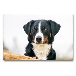 Premium Textil-Leinwand 90 x 60 cm Quer-Format Appenzeller Sennenhund im Detail | Wandbild, HD-Bild auf Keilrahmen, Fertigbild auf hochwertigem Vlies, Leinwanddruck von SchnelleWelten