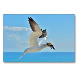 Premium Textil-Leinwand 90 x 60 cm Quer-Format Basstölpel im Landeanflug | Wandbild, HD-Bild auf Keilrahmen, Fertigbild auf hochwertigem Vlies, Leinwanddruck von René Schaack