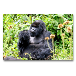Premium Textil-Leinwand 90 x 60 cm Quer-Format Berggorilla, Virunga Mountains, Ruanda | Wandbild, HD-Bild auf Keilrahmen, Fertigbild auf hochwertigem Vlies, Leinwanddruck von Michael Herzog