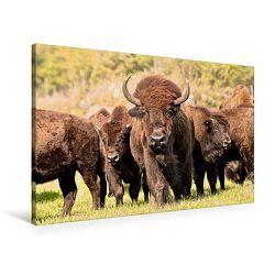 Premium Textil-Leinwand 90 x 60 cm Quer-Format Bisons in Manitoba | Wandbild, HD-Bild auf Keilrahmen, Fertigbild auf hochwertigem Vlies, Leinwanddruck von Marianne Drews von Drews,  Marianne