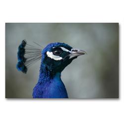 Premium Textil-Leinwand 90 x 60 cm Quer-Format Blauer Pfau Portrait   Wandbild, HD-Bild auf Keilrahmen, Fertigbild auf hochwertigem Vlies, Leinwanddruck von Kattobello
