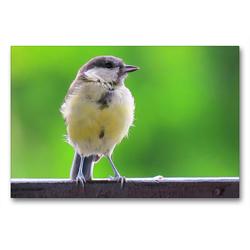 Premium Textil-Leinwand 90 x 60 cm Quer-Format Die Kohlmeise auf Besuch | Wandbild, HD-Bild auf Keilrahmen, Fertigbild auf hochwertigem Vlies, Leinwanddruck von Claudia Schimmack