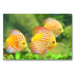Premium Textil-Leinwand 90 x 60 cm Quer-Format Diskusfische. Die bezaubernden Lieblinge vieler Aquarianer | Wandbild, HD-Bild auf Keilrahmen, Fertigbild auf hochwertigem Vlies, Leinwanddruck von Rose Hurley