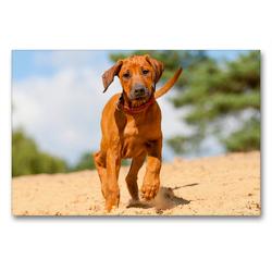 Premium Textil-Leinwand 90 x 60 cm Quer-Format Ein drolliger junger Rhodesian Ridgeback läuft durch Sand   Wandbild, HD-Bild auf Keilrahmen, Fertigbild auf hochwertigem Vlies, Leinwanddruck von CALVENDO