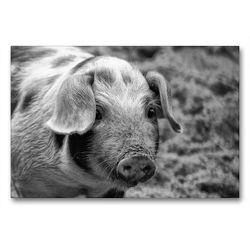 Premium Textil-Leinwand 90 x 60 cm Quer-Format Ferkel Portrait | Wandbild, HD-Bild auf Keilrahmen, Fertigbild auf hochwertigem Vlies, Leinwanddruck von kattobello