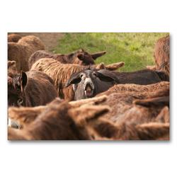 Premium Textil-Leinwand 90 x 60 cm Quer-Format Flehmende Eselstute | Wandbild, HD-Bild auf Keilrahmen, Fertigbild auf hochwertigem Vlies, Leinwanddruck von Meike Bölts