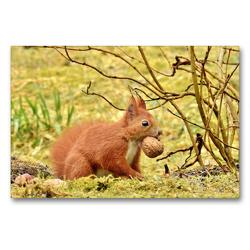 Premium Textil-Leinwand 90 x 60 cm Quer-Format Eichhörnchen mit Walnuss   Wandbild, HD-Bild auf Keilrahmen, Fertigbild auf hochwertigem Vlies, Leinwanddruck von René Schaack