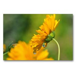 Premium Textil-Leinwand 90 x 60 cm Quer-Format Gelbe Blüte mit Regentropfen | Wandbild, HD-Bild auf Keilrahmen, Fertigbild auf hochwertigem Vlies, Leinwanddruck von Susanne Herppich