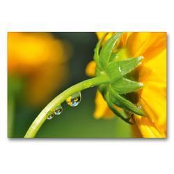 Premium Textil-Leinwand 90 x 60 cm Quer-Format Gelbe Blüte mit Wassertropfen und Spiegelung | Wandbild, HD-Bild auf Keilrahmen, Fertigbild auf hochwertigem Vlies, Leinwanddruck von Susanne Herppich