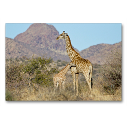 Premium Textil-Leinwand 90 x 60 cm Quer-Format Giraffe mit Jungtier | Wandbild, HD-Bild auf Keilrahmen, Fertigbild auf hochwertigem Vlies, Leinwanddruck von Wilfried Martin