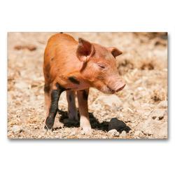 Premium Textil-Leinwand 90 x 60 cm Quer-Format Glückliches Schwein Berkshire-Iberico Ferkel | Wandbild, HD-Bild auf Keilrahmen, Fertigbild auf hochwertigem Vlies, Leinwanddruck von Meike Bölts