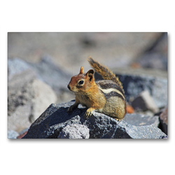 Premium Textil-Leinwand 90 x 60 cm Quer-Format Goldmantelziesel im Crater Lake Nationalpark (USA) | Wandbild, HD-Bild auf Keilrahmen, Fertigbild auf hochwertigem Vlies, Leinwanddruck von Jana Thiem-Eberitsch