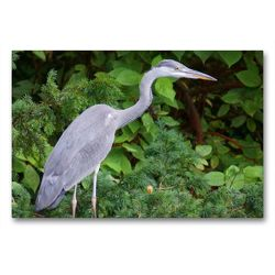 Premium Textil-Leinwand 90 x 60 cm Quer-Format Grey heron (Ardea cinerea) | Wandbild, HD-Bild auf Keilrahmen, Fertigbild auf hochwertigem Vlies, Leinwanddruck von kattobello
