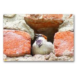Premium Textil-Leinwand 90 x 60 cm Quer-Format Haussperling in der Stadtmauer | Wandbild, HD-Bild auf Keilrahmen, Fertigbild auf hochwertigem Vlies, Leinwanddruck von kattobello