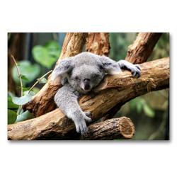 Premium Textil-Leinwand 90 x 60 cm Quer-Format Koala Bär auf einem Baum in Australien | Wandbild, HD-Bild auf Keilrahmen, Fertigbild auf hochwertigem Vlies, Leinwanddruck von Christian Colista