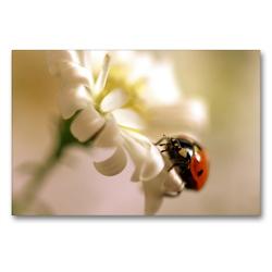 Premium Textil-Leinwand 90 x 60 cm Quer-Format Marienkäfer an weißer Blüte | Wandbild, HD-Bild auf Keilrahmen, Fertigbild auf hochwertigem Vlies, Leinwanddruck von Ulrike Adam