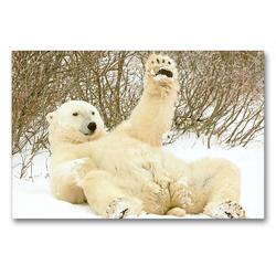 Premium Textil-Leinwand 90 x 60 cm Quer-Format Mit Gemütlichkeit: Eisbär grüßt völlig relaxed mit einer Pfote.   Wandbild, HD-Bild auf Keilrahmen, Fertigbild auf hochwertigem Vlies, Leinwanddruck von CALVENDO