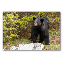 Premium Textil-Leinwand 90 x 60 cm Quer-Format Neugieriger Schwarzbär im Jasper Nationalpark | Wandbild, HD-Bild auf Keilrahmen, Fertigbild auf hochwertigem Vlies, Leinwanddruck von Adrian Geering