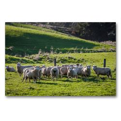 Premium Textil-Leinwand 90 x 60 cm Quer-Format Neuseeländische Schafsherde | Wandbild, HD-Bild auf Keilrahmen, Fertigbild auf hochwertigem Vlies, Leinwanddruck von Art is Passion Photodesign by Silvia Höld