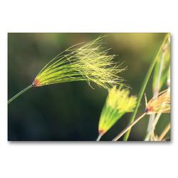 Premium Textil-Leinwand 90 x 60 cm Quer-Format Papyrusgras, Okavango-Delta, Botswana | Wandbild, HD-Bild auf Keilrahmen, Fertigbild auf hochwertigem Vlies, Leinwanddruck von Birgit Scharnhorst