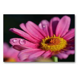 Premium Textil-Leinwand 90 x 60 cm Quer-Format Pinkfarbene Margerite | Wandbild, HD-Bild auf Keilrahmen, Fertigbild auf hochwertigem Vlies, Leinwanddruck von Susanne Herppich