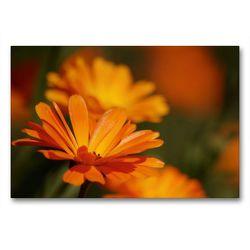 Premium Textil-Leinwand 90 x 60 cm Quer-Format Ringelblumen | Wandbild, HD-Bild auf Keilrahmen, Fertigbild auf hochwertigem Vlies, Leinwanddruck von Bianca Schumann