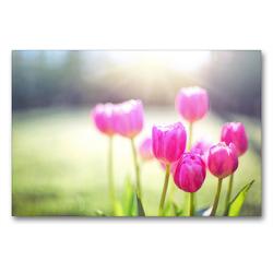 Premium Textil-Leinwand 90 x 60 cm Quer-Format Rosa Tulpen   Wandbild, HD-Bild auf Keilrahmen, Fertigbild auf hochwertigem Vlies, Leinwanddruck von Rose Hurley
