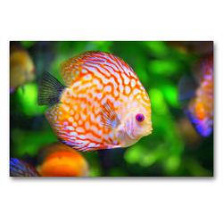 Premium Textil-Leinwand 90 x 60 cm Quer-Format Roter junger Diskusfisch | Wandbild, HD-Bild auf Keilrahmen, Fertigbild auf hochwertigem Vlies, Leinwanddruck von Rose Hurley