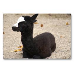 Premium Textil-Leinwand 90 x 60 cm Quer-Format Schwarz weißes Alpakafohlen | Wandbild, HD-Bild auf Keilrahmen, Fertigbild auf hochwertigem Vlies, Leinwanddruck von kattobello