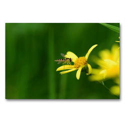 Premium Textil-Leinwand 90 x 60 cm Quer-Format Schwebfliege auf gelber Blüte | Wandbild, HD-Bild auf Keilrahmen, Fertigbild auf hochwertigem Vlies, Leinwanddruck von Marlise Gaudig