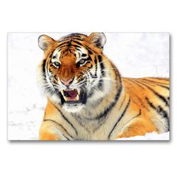 Premium Textil-Leinwand 90 x 60 cm Quer-Format Sibirischer Tiger im Winter | Wandbild, HD-Bild auf Keilrahmen, Fertigbild auf hochwertigem Vlies, Leinwanddruck von Rose Hurley