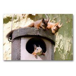 Premium Textil-Leinwand 90 x 60 cm Quer-Format Spielende junge Eichhörnchen   Wandbild, HD-Bild auf Keilrahmen, Fertigbild auf hochwertigem Vlies, Leinwanddruck von Wilfried Martin